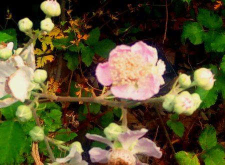 La pianta che previene e cura le riniti di natura allergica: la rosa canina