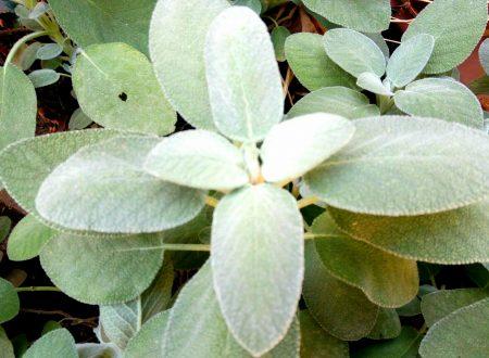 La Salvia, una pianta aromatica dalle eccezionali proprietà salutari