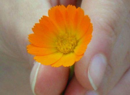 Un fiore per i disturbi mestruali e per la protezione della cute: la Calendula