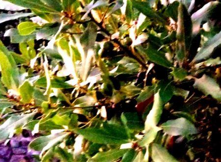 L'olio essenziale di Alloro: utile nella digestione ma anche ottimo antisettico