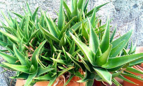 Aloe arborescens: le sue proprieta' disintossicanti ed antiumorali l'hanno resa una pianta celebre