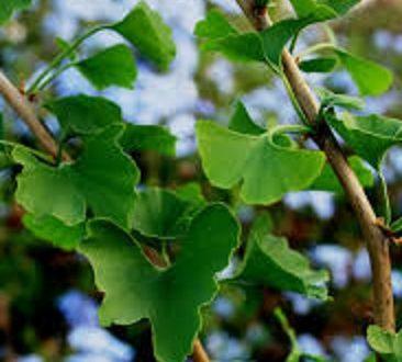 Il Ginko Biloba è la pianta che cura memoria e concentrazione