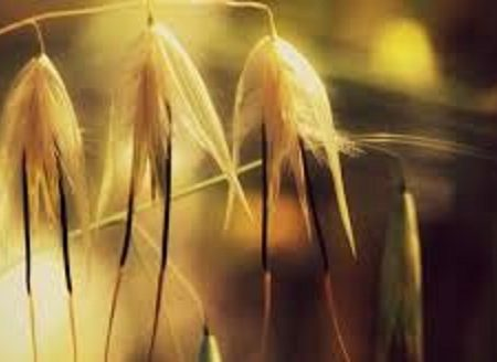 Un fiore per coloro che hanno ambizioni importanti nella vita: WILD OAT