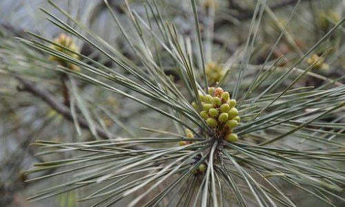 Pine è il Fiore di Bach dell'accettazione e del perdono di sè
