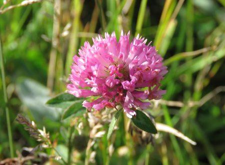 Il Trifoglio rosso è la pianta che cura i disturbi ormonali a qualunque età!l