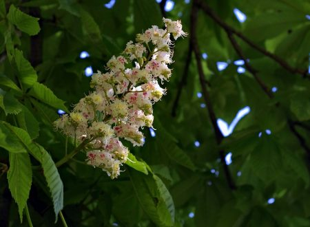 Rilassa la tua mente con il Fiore di Bach White Chestnut!