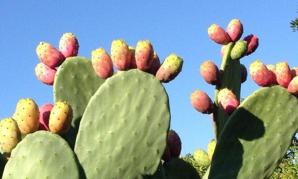 L'Opuntia, un rimedio naturale contro l'iperglicemia e l'ipercolesterolomia